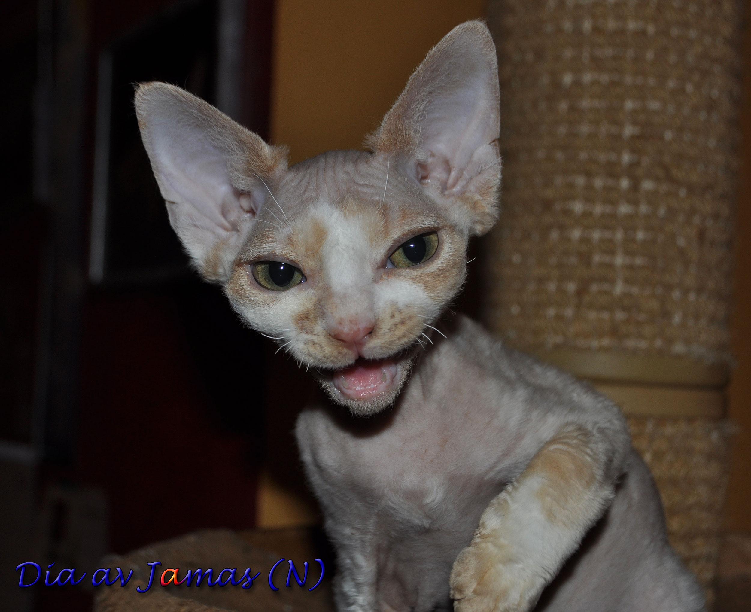 Scottish fold katt til salgs