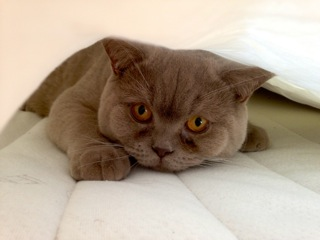 Ragdoll katter til salgs