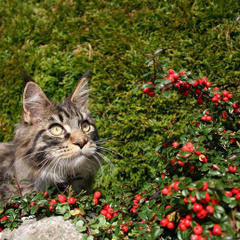 Maine Coon: S*Laterna Magicas John Denver