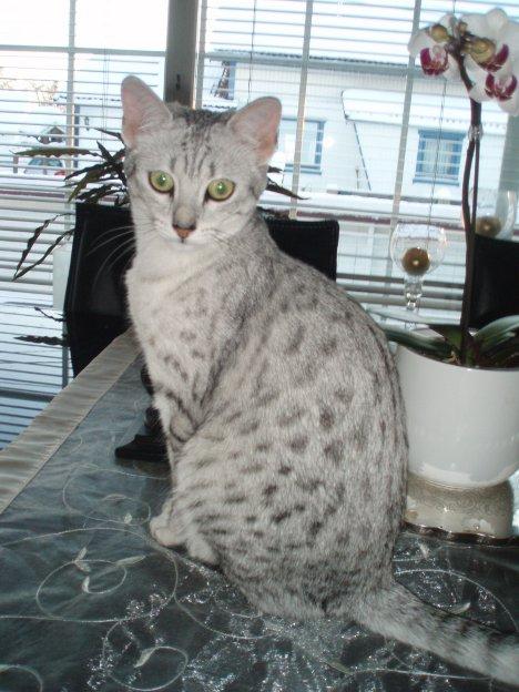 Egyptisk Mau
